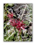 880 Sempervivum arachnoideum