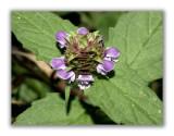 1645 Prunella vulgaris