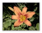 2877 Lilium bulbiferum croceum