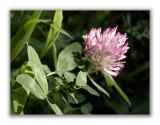 1122 Trifolium medium