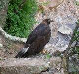 Golden Eagle at Boyce Thompson Arboretum September 2006