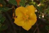 Flannelbush   (Fremontodendron californicum)