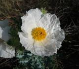 Prickly Poppy - Argemone pleiacantha