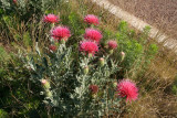Thistle - Cirsium species