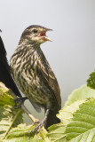 RED-WINGED BLACKBIRD - IMMATURE