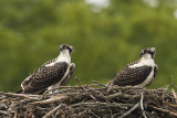 OSPREYS - IMMATURE