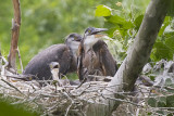 GREAT BLUE HERON - ADULTS & 3 JUVIES