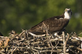 OSPREY WITH  2  OF 3 CHICKS
