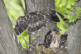 6/18  - HAWK CHICK PRACTICES JUMPING