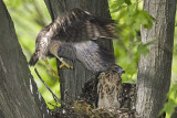 6/18 - HAWK CHICK  - TRYING TO GET IT RIGHT
