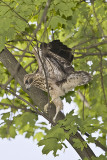 6/18 - HAWK CHICK - FIRST DAY OUTSIDE THE NEST