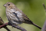 HOUSE FINCH - IMMATURE
