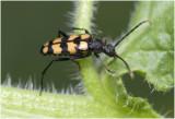 gevlekte Smalbok - Strangalia quadrifasciata