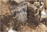 Schijn-piramidevlinder - Amphipyra berbera