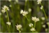 witte Snavelbies - Rhynchospora alba