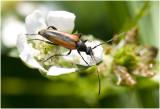 Zwartstreepsmalbok - Stenurella melanura