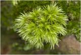Kussentjesmos - Leucobryum glaucum