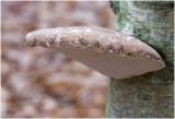 Berkenzwam - Piptoporus betulinus