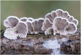 Waaiertje - Schizophyllum commune