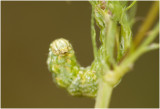 Kamillevlinder  - Cucullia chamomillae
