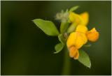gewone Rolklaver - Lotus corniculatus