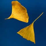 Yellow leaves of Gingko biloba