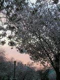 Larchmont in Blossom