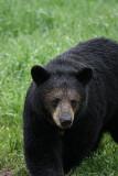 bears_june2008