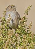 Golden-crowned Sparrow  (Zonotrichia atricapila)