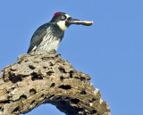 Female Acorn Woodpecker with a longitudinally split acorn