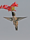 Hummingbird at the Red-tip Yucca