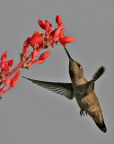 Hummingbird at a Red-tip Yucca flower