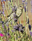 Female Lesser Goldfinch eating seeds of an English Lavender