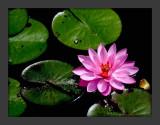 Lotus Blossum3