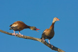 Black-bellied Whistling Duck Discussion