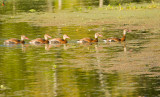 Black-bellied Whistling Ducks on Creekfield Lake