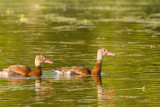Black-bellied Whistling Ducks on Creekfield Lake 02