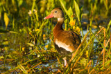 Black-bellied Whistling Duck in Early Morning