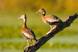 Black-bellied Whistling Duck Pair