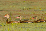 Black-bellied Whistling Ducks on Creekfield Lake 01