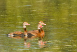 Black-bellied Whistling Ducks on Creekfield Lake 03