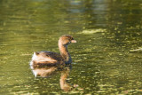 Pied-billed Grebe on Creekfield Lake 01