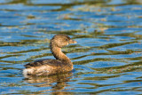 Pied-billed Grebe on Creekfield Lake 02