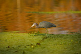 Tri-color Heron in Late Evening  Light