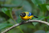 Black-chinned Mountain-Tanager3