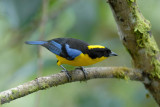 Blue-winged Mountain-Tanager3