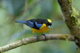 Blue-winged Mountain-Tanager4