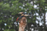 Pale-mandibled Aracari7