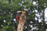 Pale-mandibled Aracari8