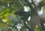 Blackburnian Warbler6